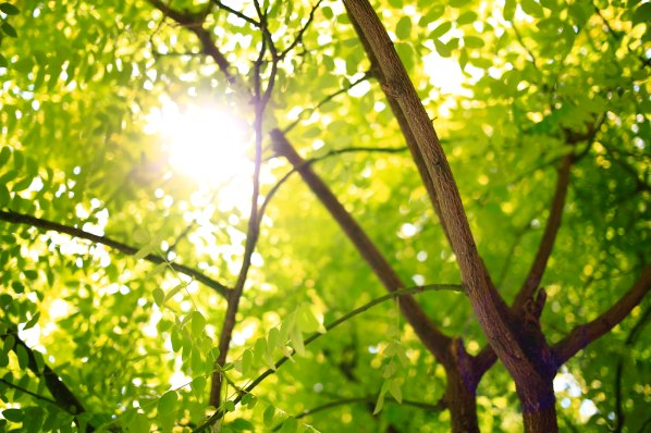 Green trees with the light of the sun shining through