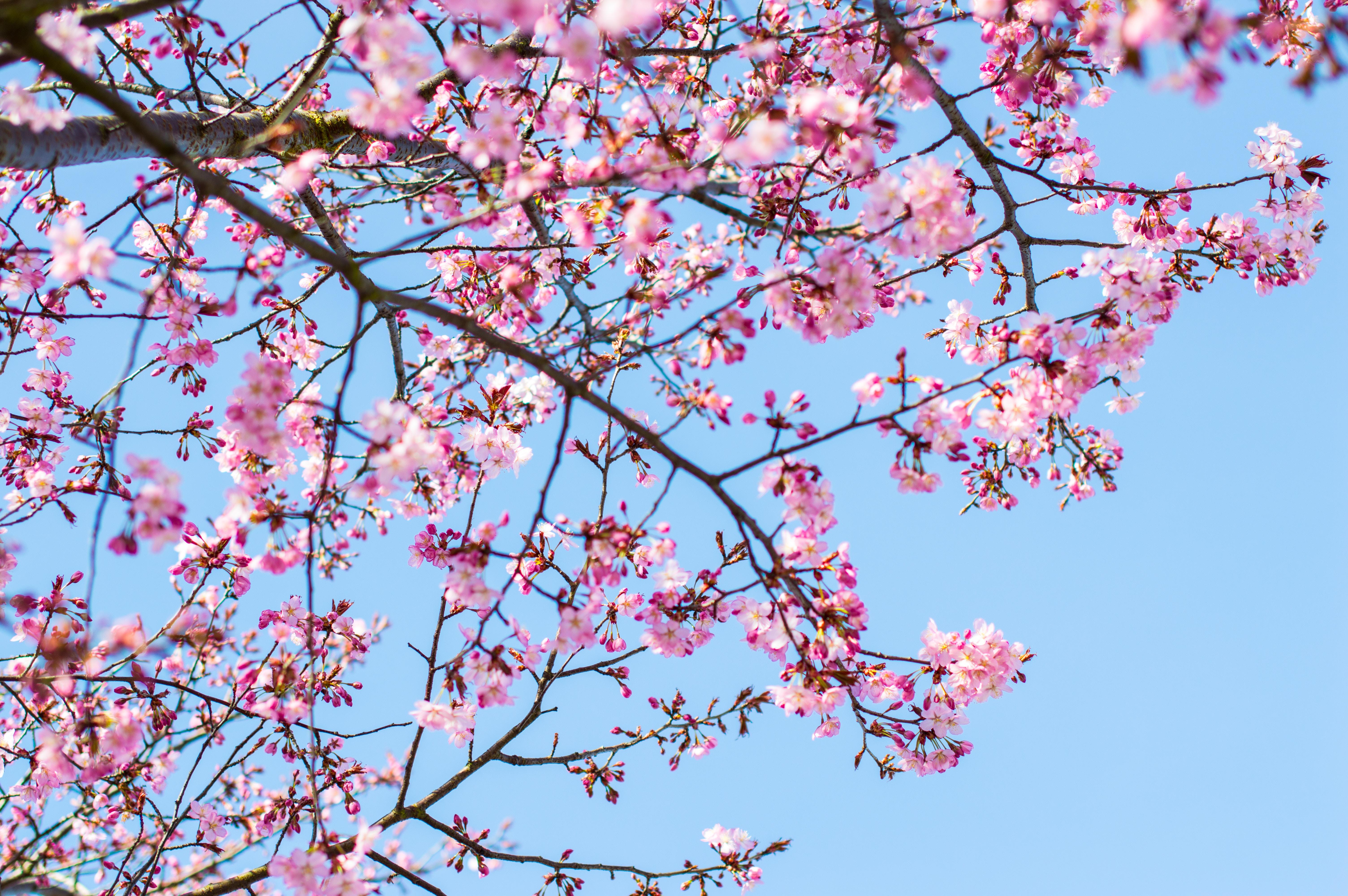 Pink cherry blossom tree against a blue sky